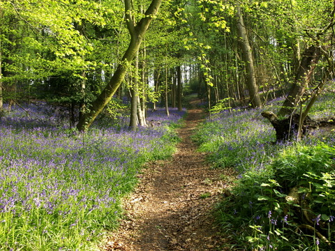 Bucks Bluebells